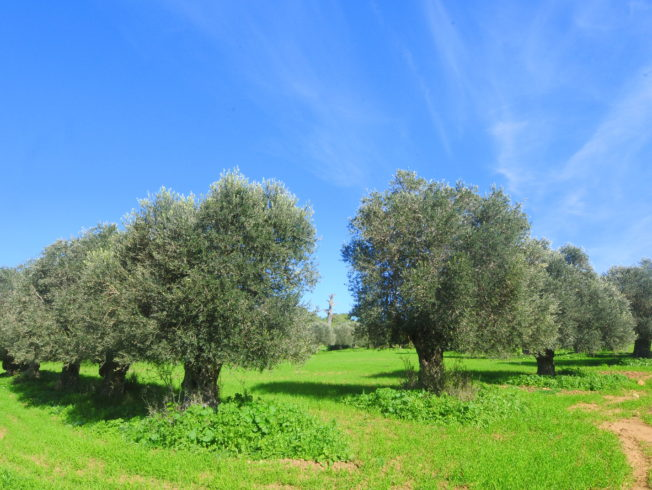 Oliv_Olive_trees_norra_cypern_magasinet_north_cyprus
