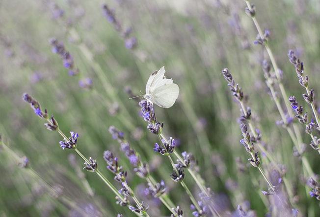butterfly_fjaril_norra_cypern_magasinet_lavender_lavandel