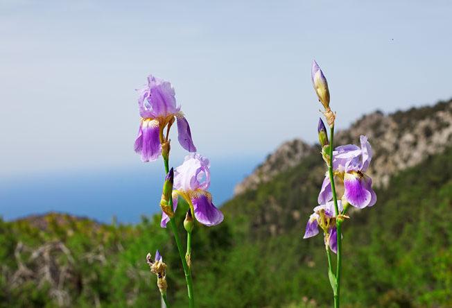 orkideer_norra_cypern_magasinet