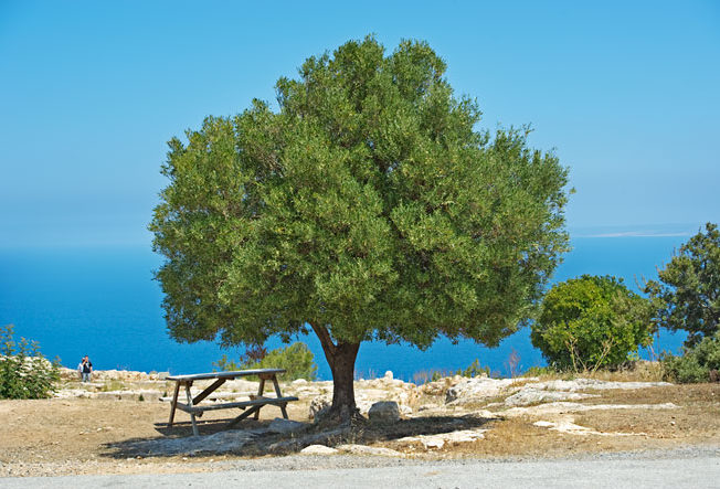 olive_tree_from_vouni_palace