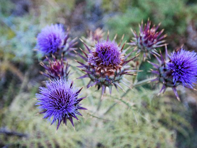 Kronartskocka_blommar_norra_cypern
