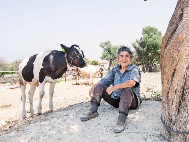 Dagens_bild_Norra_Cypern_ko_cow_north_cyprus
