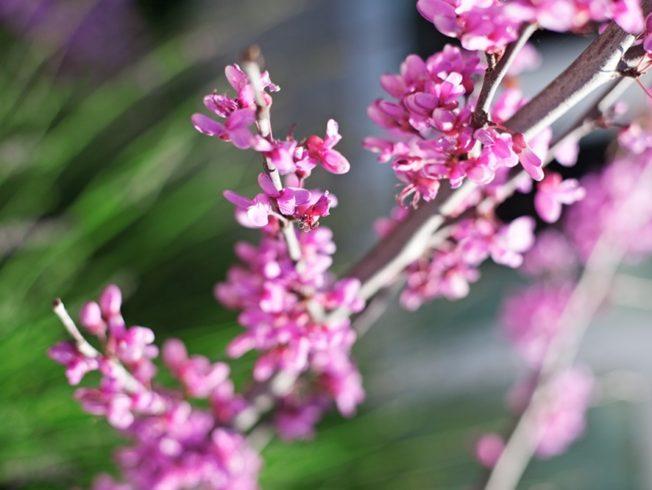 Norra_Cypern_dagens_bild_north_cyprus_blommor_flowers_pink_rosa