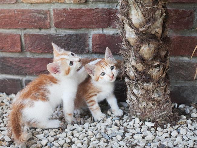 Norra_Cypern_katter_cats_playing_palm_tree_north_cyprus_norra_cypern