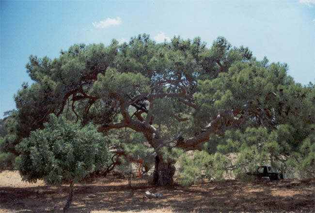 north-cyprus-large-lush-tree