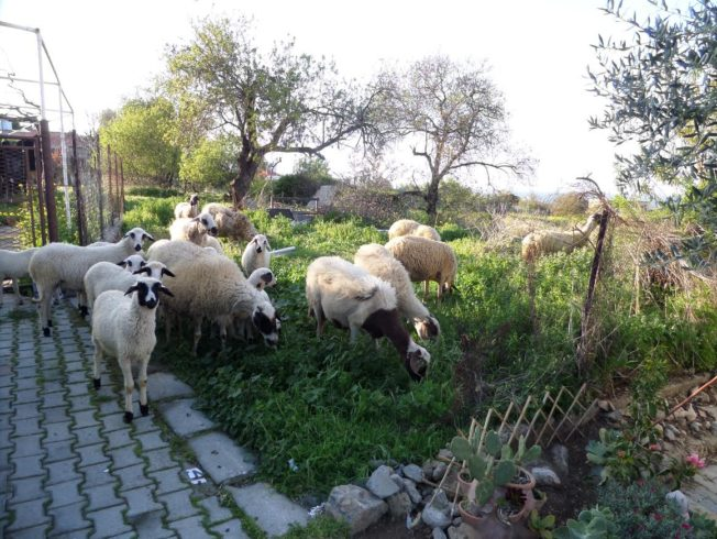 north-cyprus-sheep-in-the-garden