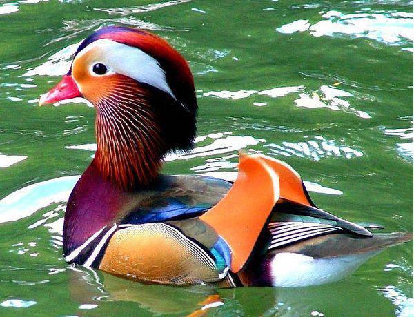 mandarin-duck-north-cyprus