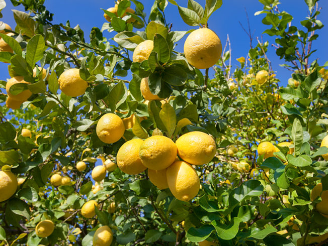 north-cyprus-lemons-on-lemon-tree