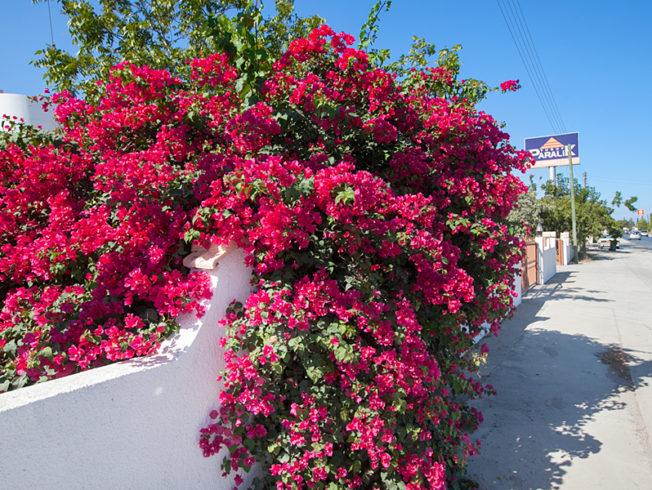 north-cyprus-red-pink-flowers-street