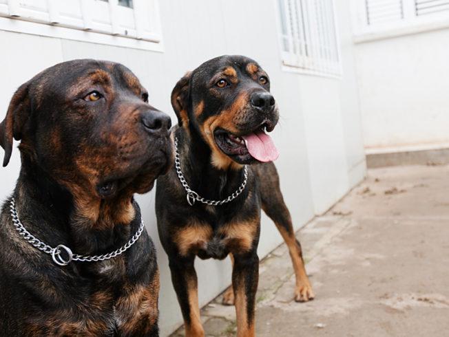 dogs-rottweiler-north-cypern