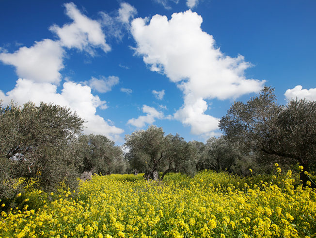 north-cyprus-ancient-olive-trees
