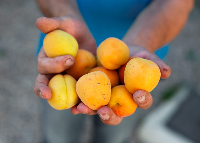 north-cyprus-apricot-festival-esentepe