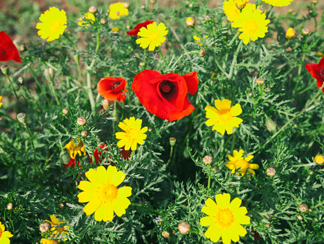 north-cyprus-flowers-red-yellow