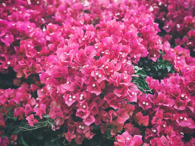 north-cyprus-2015-pink-bougainvillea-flowers