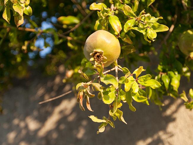 north-cyprus-2015-pomme-granate-tree