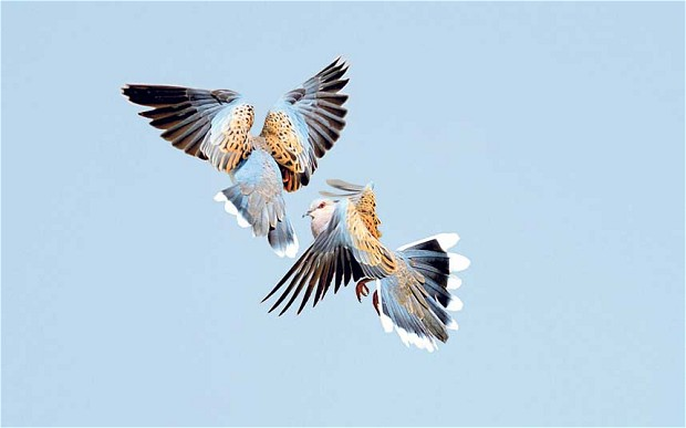 turtle-doves-fighting