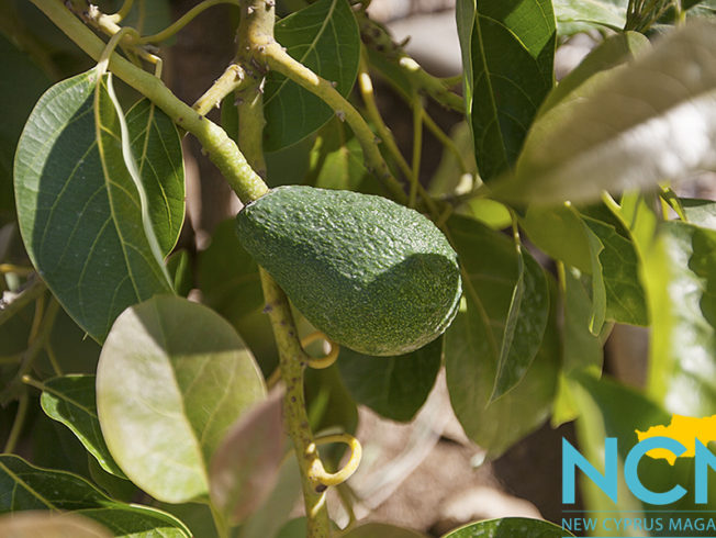 north-cyprus-2015-avocado-tree
