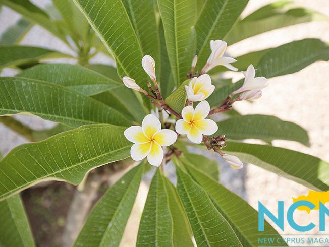north-cyprus-2015-white-flowers