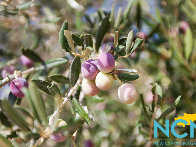 north-cyprus-time-for-olives