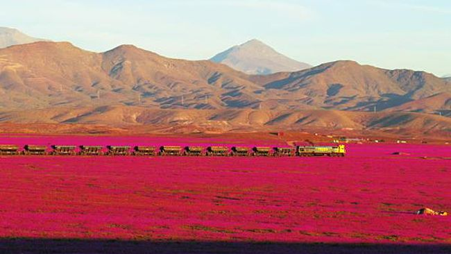 Flourishing-desert-chile-pink-flowers
