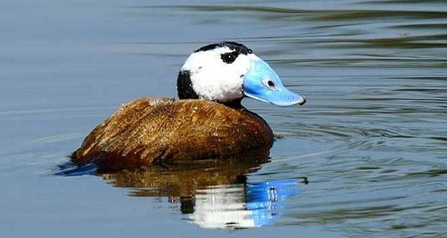 white-headed-duck-Larnaca