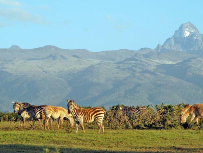 Zebras on a field in Kenya
