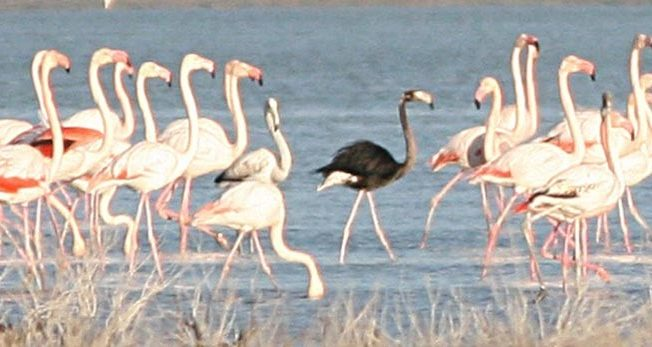 Black flamingo in Larnaca