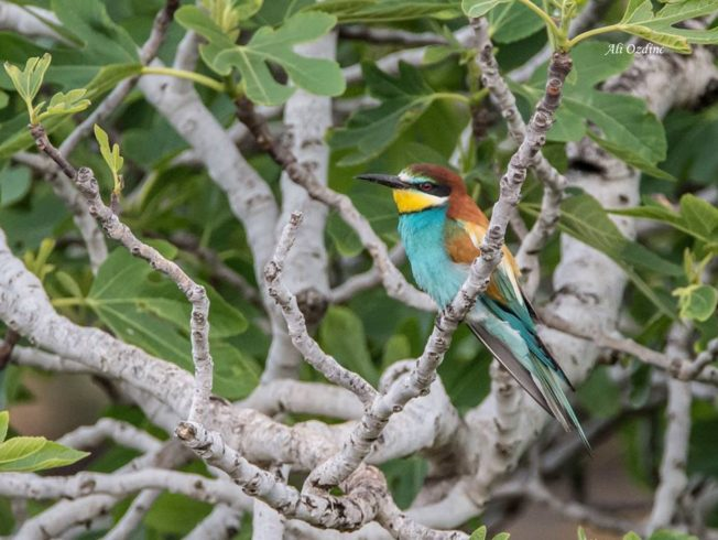 A European Bee-eater