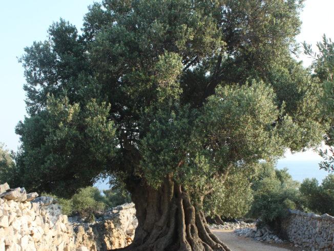 Olive tree in Doğanköy Village