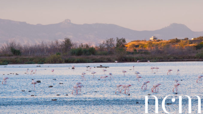 Flamingos in Gülseren Famagusta North Cyprus